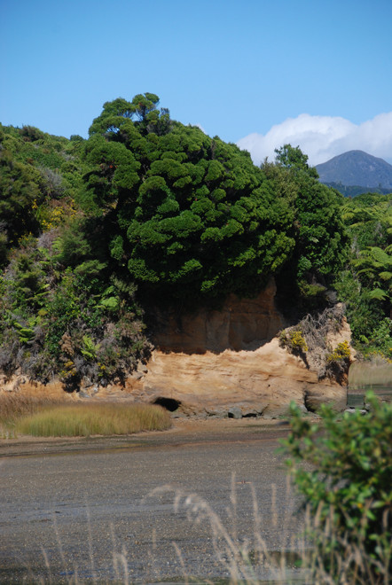 A spectacularly bushy tree on Whanganui Inlet, possible a Pukatea - Laurelia novae-zelandiae