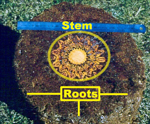 Cross section of dicksonia tree fern showing thick layer of roots and inner stem - often used to make highly patterned products for tourists (Uni Hamberg Biology Dept click for link)
