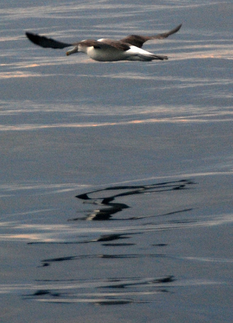 Buller's Mollymawk, a small albatross,  on the Foveax Strait.