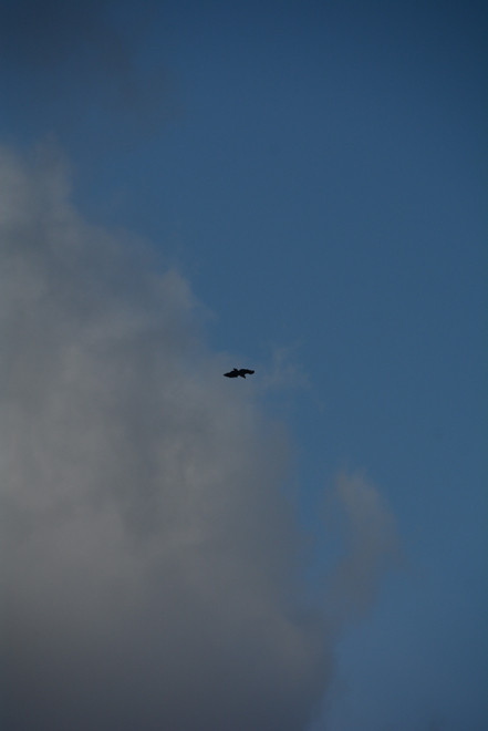 Golden Eagle or sea eagle? Flying way up in the freezing sky and moving fast with apparently no effort.