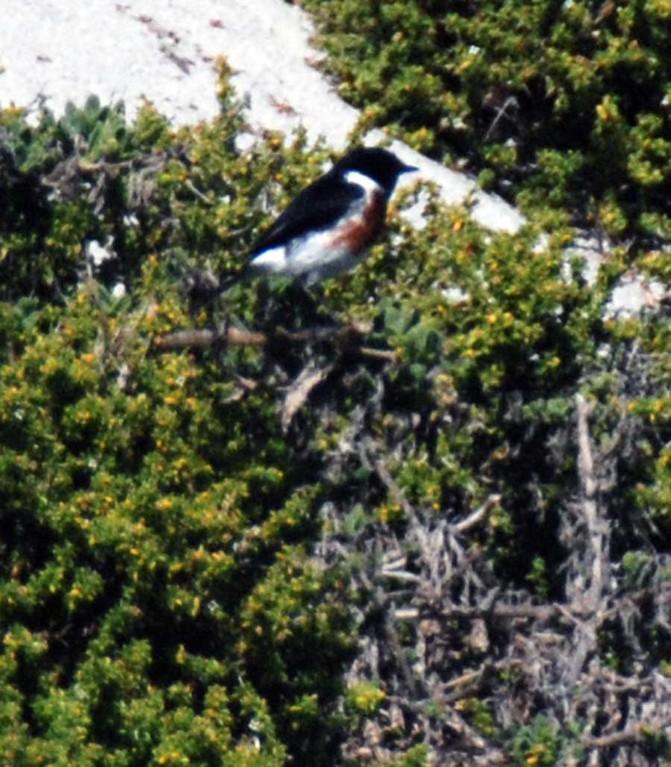African Stonechat, Langebaan Lagoon