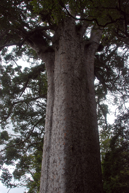 The Sqaure Kauri tree on the Coromandel Peninsula.