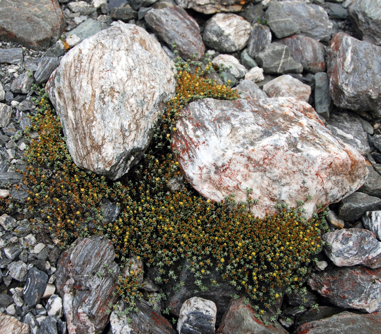 Mat daisies colonising schist debris in the Fox Glacier valley.