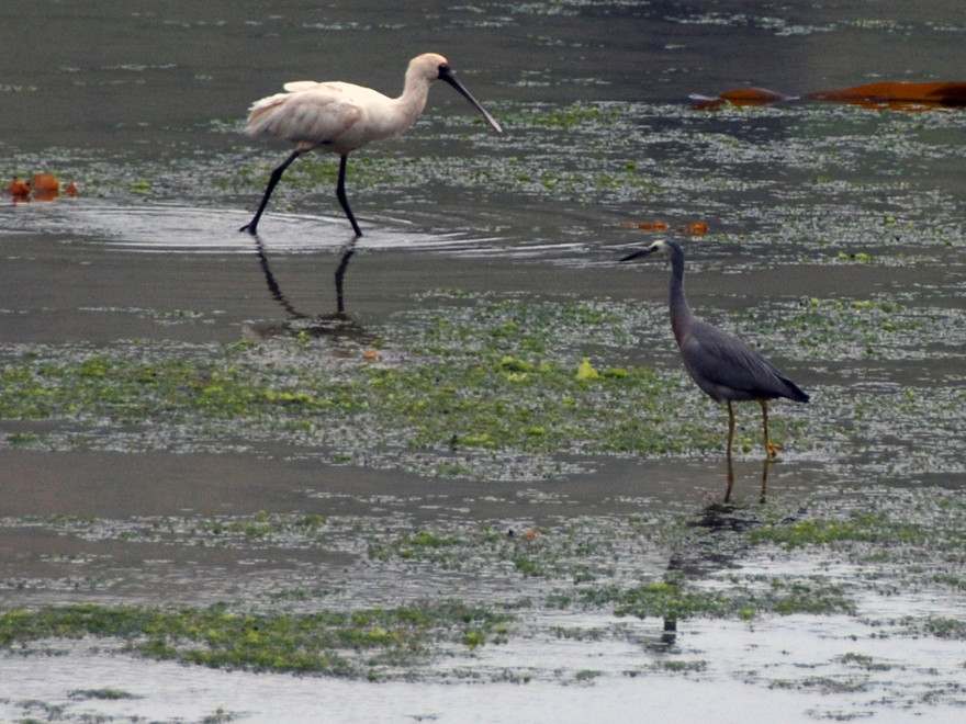 Spoonbill and White-Faced Heron on Papanui Inlet