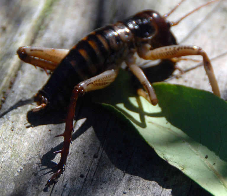 The spectacularly spiky legs of the West Coast Bush Weta (Hemideina broughii).