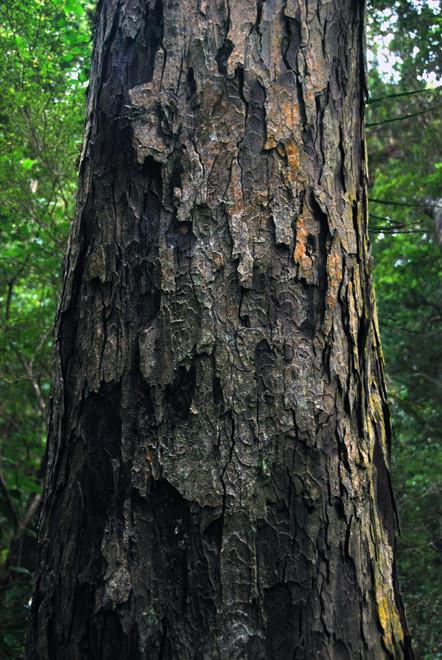 Ridging charateristic of mature Rimu bark, Ulva, Stewart Island.