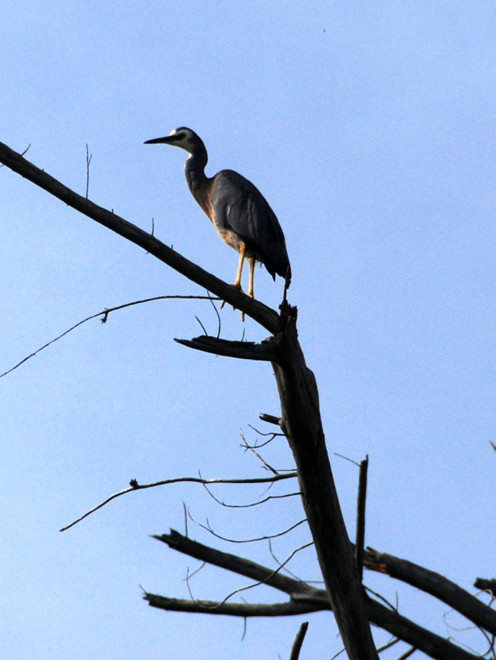 White-faced heron in a dead tree, Taupo Head Walk, Wainui Bay.