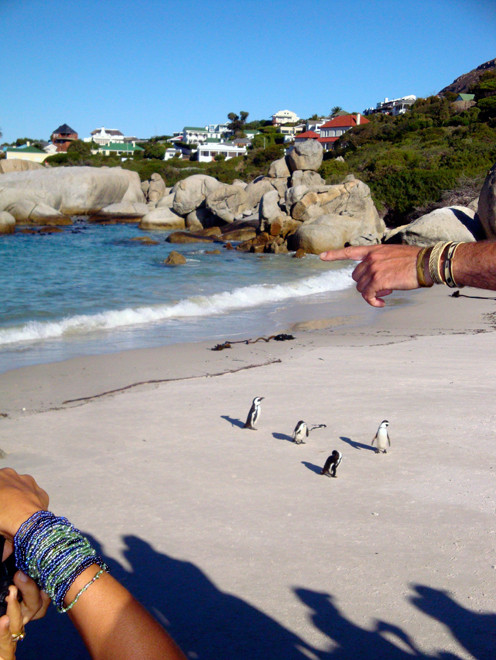Moving from one safe confine to another: Simon's  Town and the Boulder African Penguin colony (c) PME