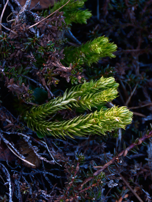 A fir tree club moss (Lycopodiaceae family) out at Russelv on the Lyngen Peninsula.