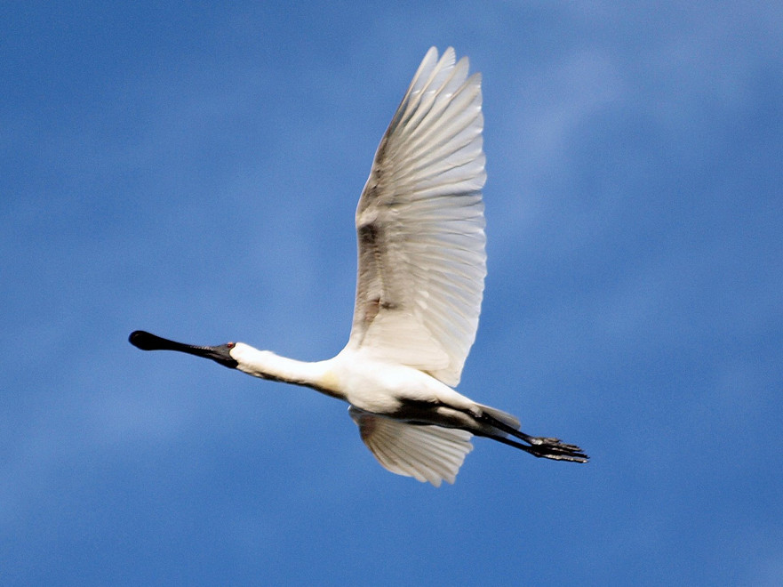 Spoonbill flying (in Australia) (Courtesy of Duncan McCaskill WikiCommons)