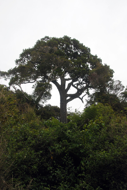 Rimu standing above the broadleaf canopy on the Rkiura Track east of Lee Bay on Stewart Island