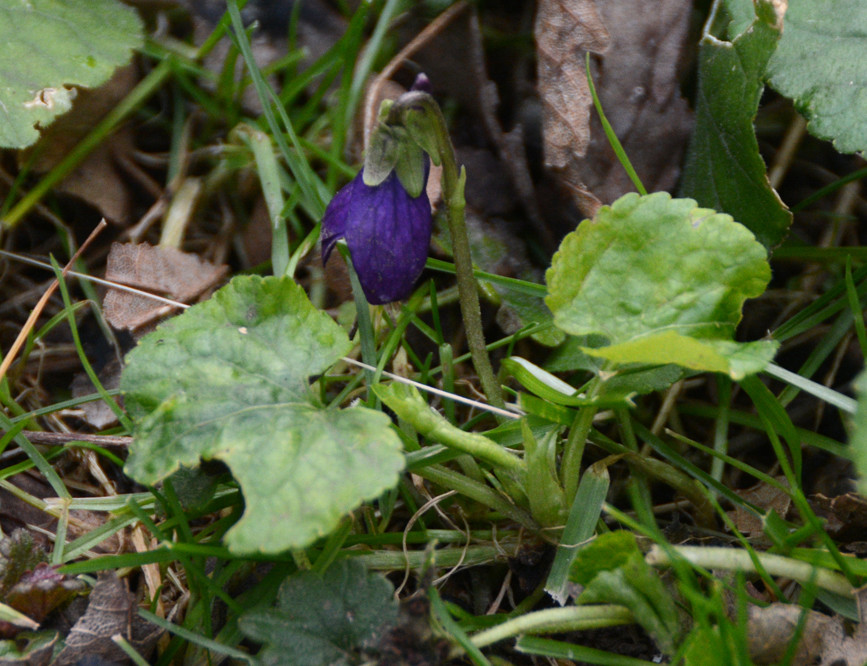 First Violet, 1st February