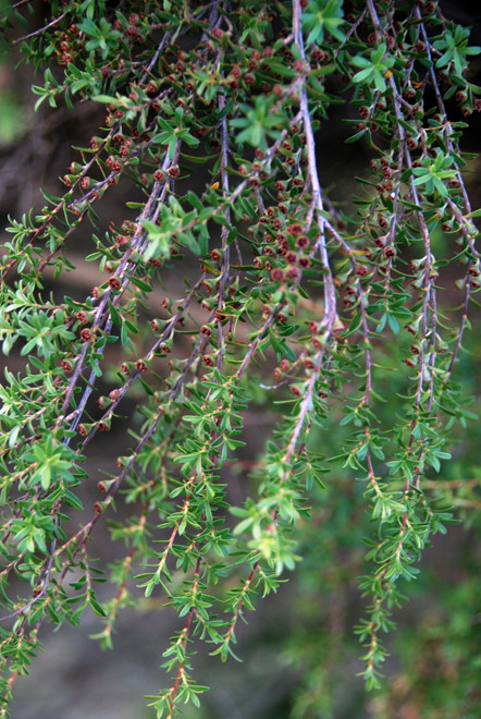 Manuka foliage and seed-heads near Cape Farewell, Golden Bay.