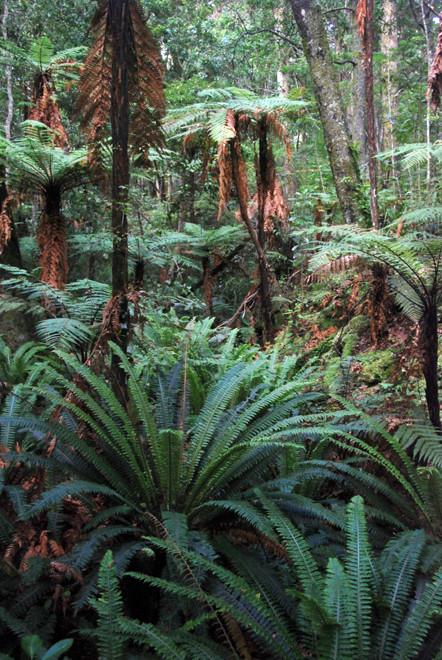 Crown ferns, weki tree ferns and Halls totara and Rimu on Ulva Island
