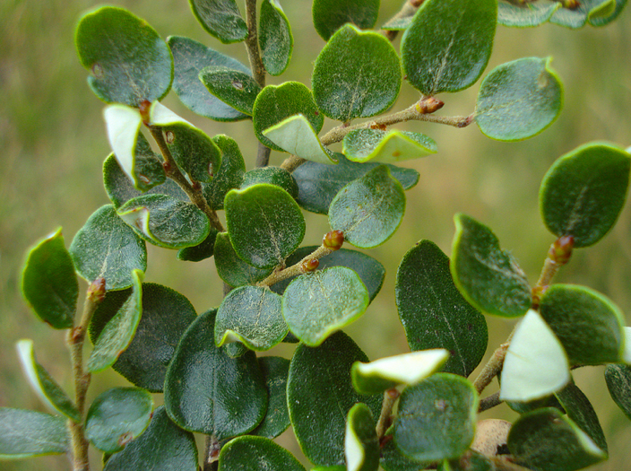 Mountain Beech foliage - note whiter undersides (Courtesy TER