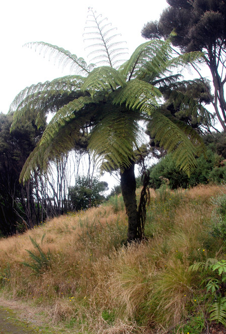 Mamuka/Black tree fern - (Cyathea medullaris) - in cleared land being recolonised by Manuka and Gorse and grasses at foot of Ackers Point, Stewart Island.