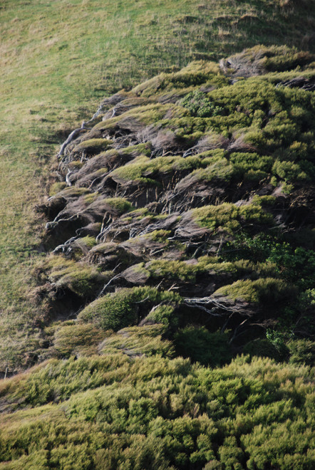 Fantastically-contorted Manuka scrub near Cape Farewell at the north tip of the South Island. The trees appear to be blowing even without a wind.