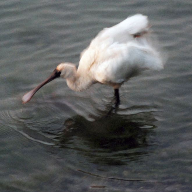 Spoonbill having a good shake, Papanui Inlet, Otago Peninsula