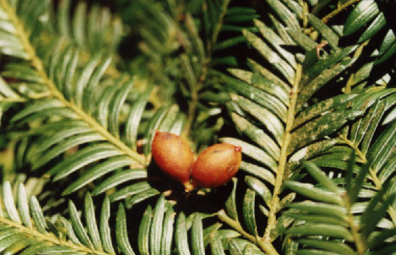 Miro seeds (Coutesy Gymnosperm Database)