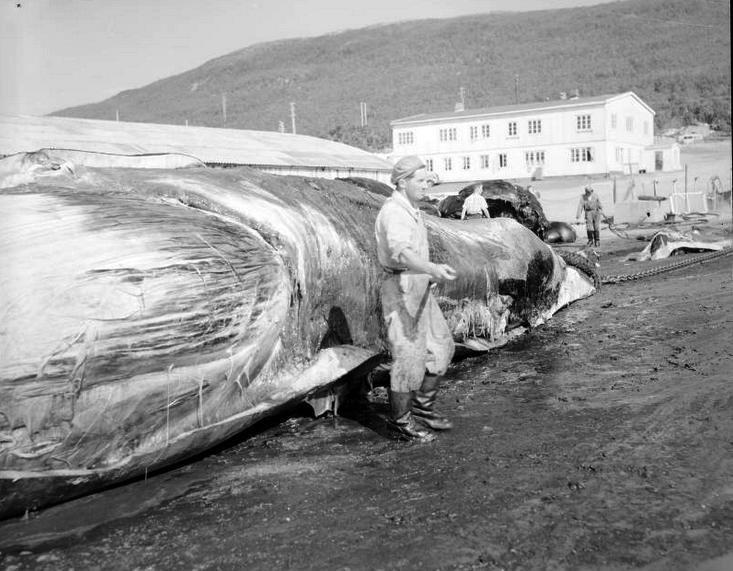 Hvalflensing (Whale Flensing) in Tromsø Soudn, 1961 (National Library of Norway http://www.nb.no/nbsok/nb/99c7d340ab6cd39cd2ef37de0b0ee8ec?index=2#0).