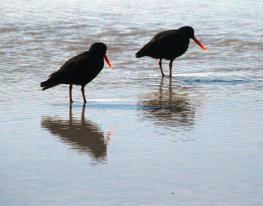 The sun catching the translucence of these Variable Oytercatchers' bill on Wharariki Beach, Golden Bay.