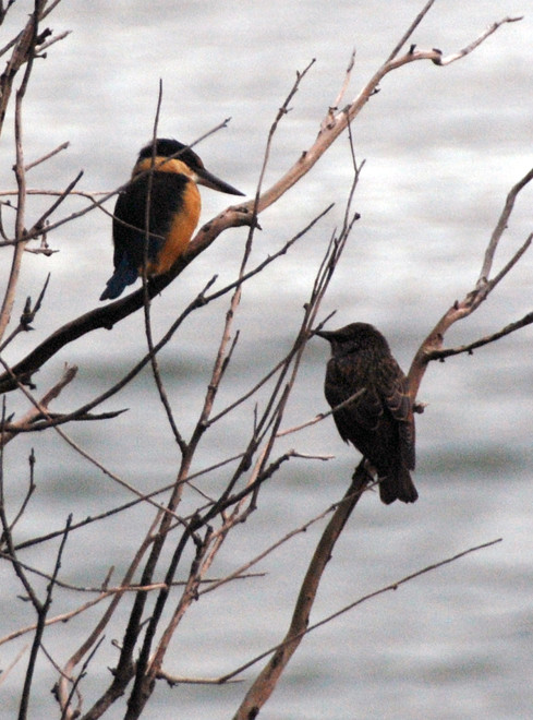 Kingfisher and starling having a catch-up outside the baothouse on the Papanui Inlet