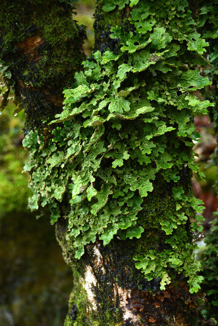 Close-up of beautiful lichen on hazel.