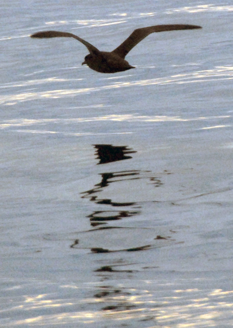 A Sooty Shearwater reflected in the glassy waters of the Foveaux Strait