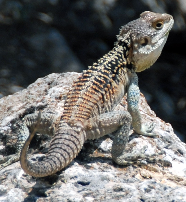Sling-tailed Agama lizard enjoying the heat, Khirikotia June 2013.