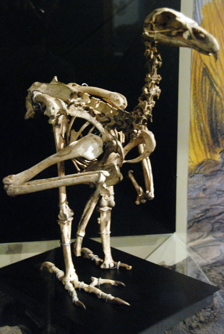 Skeleton of the extinct giant Haast Eagle (Harpagornis moorei). The female weighed 13kg and had a wingspan of about three metres. It caught its prey by diving from rocks. (Otago Museum, Dunedin).