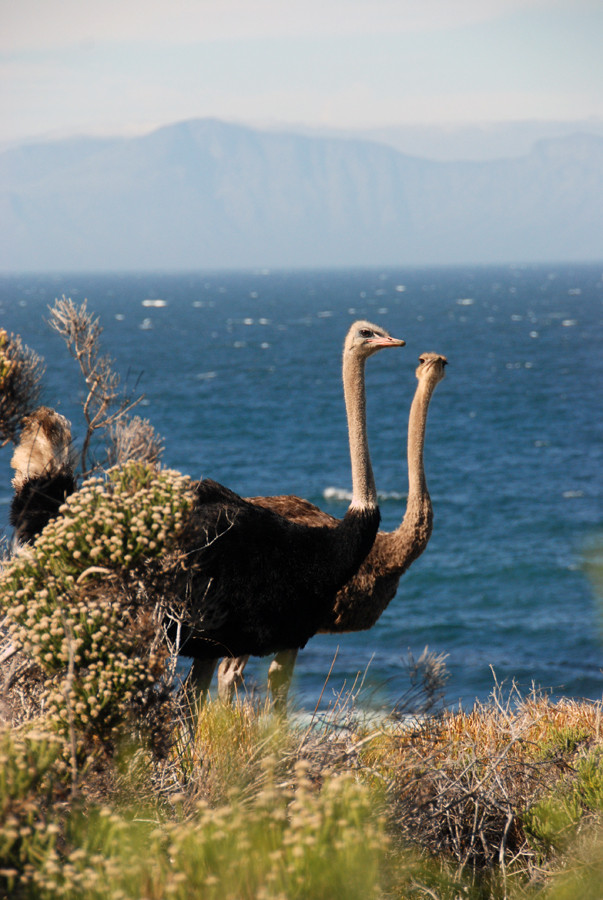 Male and female ostrich, Buffels Bay,  Table Mountain National Park