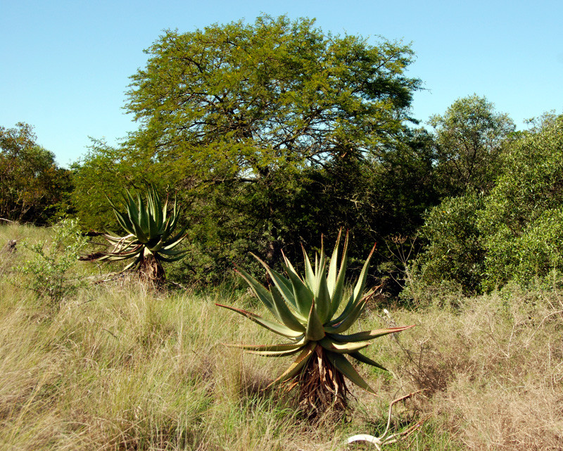 Aloes (aloe microstigma) - 'Aalwyn' - and acacias in the Bontebok