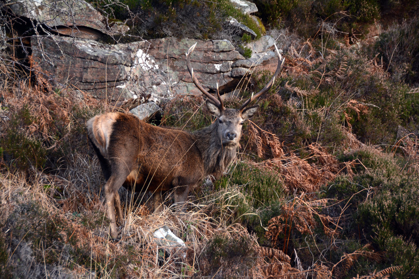Red deer stag moving back up from the coastal grasses, which they graze at night, to the higher hills on the Fearnmore/Applecross road.