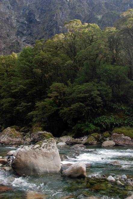The Hollyford river, silver beech trees and luxuriant temperate rain forest understory.