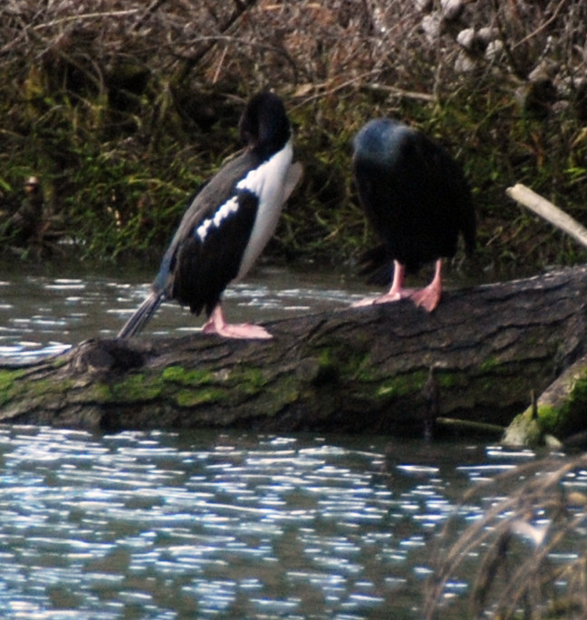 A pair of pink-footed Stewart Island shags on the Papanui Inlet, Otago Peninsula,  displaying the distinct colour phases or forms – one wholly black with a greenish gloss and the other black and white