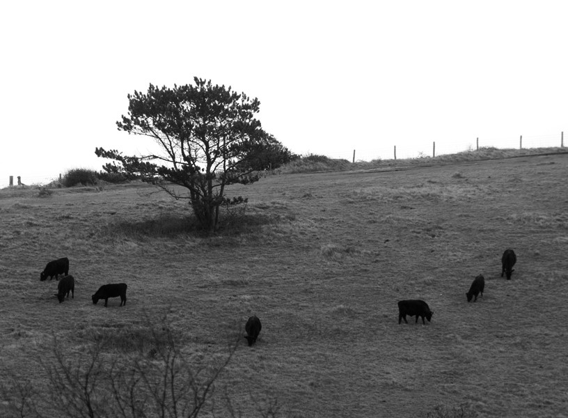 The seven Dexter cows on the South Foreland practicing 'formation grazing' around Erica's Tree.