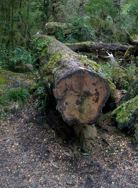 A felled Red Beech (Nothofagus fusca) near Lake Gunn on the Milford Road.