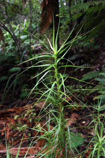 Young epiphyte on Ulva Island