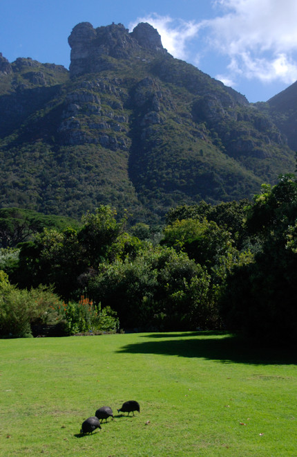 Safe controlled spaces: manicured lawns and Guinea Fowl at Kirstenbosch Gardens