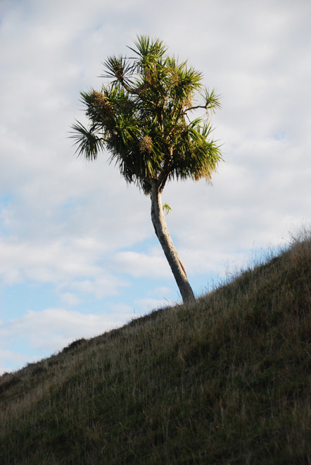 Ti Kouka/Cabbage tree - Cordyline australis - growing on the sandhills near Cape Farewell, South Island.
