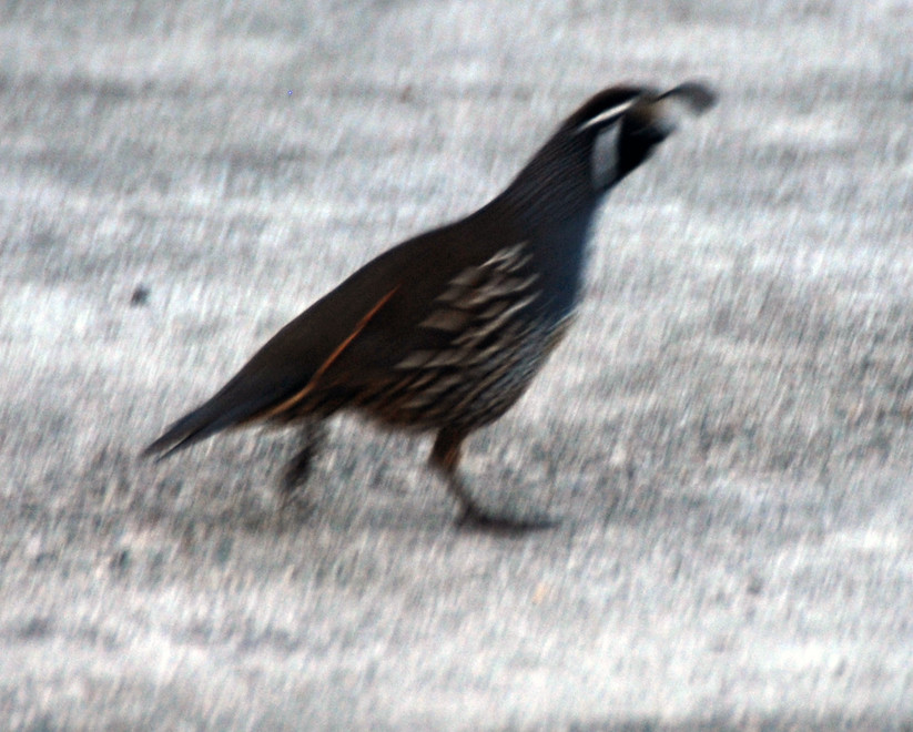 A California quail (Callipepla californica) with its characteristic plume made of six feathers making a getway near the car park for Wharariki Beach to the west of Golden Bay.