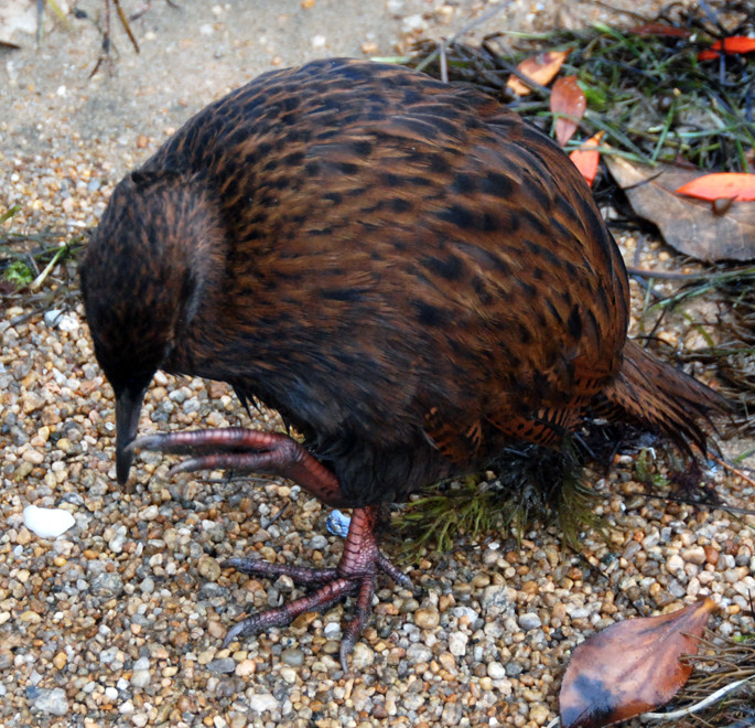 Stewart Island Weka on Boulder Beach, Ulva having a scratch and showing off its big powerful feet.