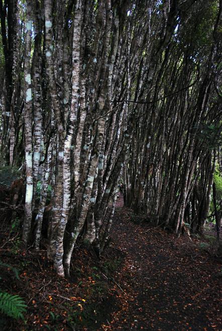 Kamahi thicket on the Riura Track, Stewart Island.