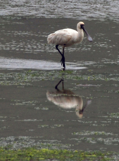 Royal Spoonbill on feeding in Papanui Inlet, Otago Peninsula