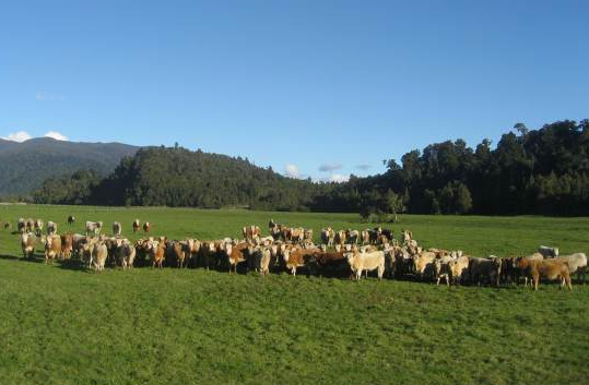 Charolais from Silverstream breeders on Jim Ferguson's farm at Ross, South Westland (click for source).