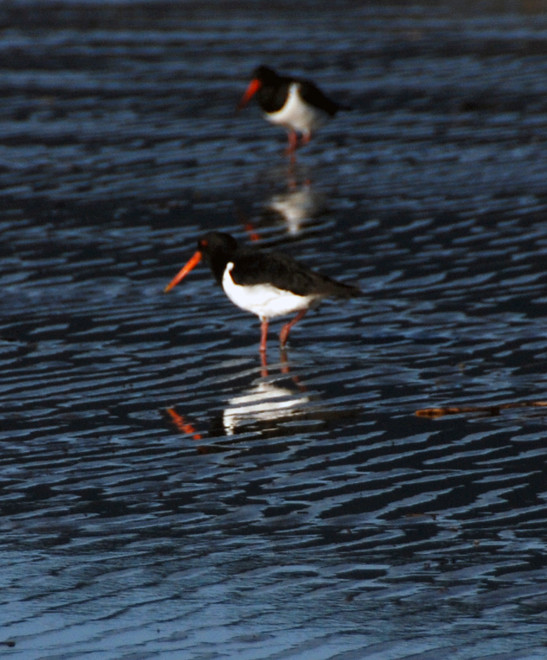 Variable oystercatchers and reflections in pied variety at Pohara Beach.