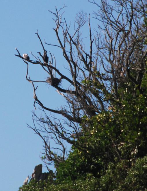 Shag nest on islet beneath Taupo Hill - Taupo Head walk, Golden Bay