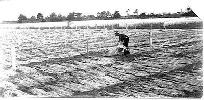 An unidentified worker spreads hanks of fibre in drying paddocks in Foxton/ Flax Town in Manawatu-W. The hanks of fibre are first dried on the ground and then hung over wire fences in background.  (Fo