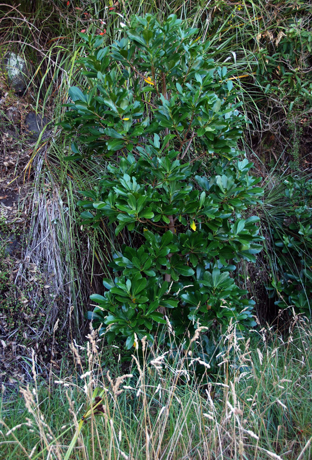 The shiny leaved Puka (griselinia lucida) that starts its life as an epiphyte and then roots from above with Cockspur grass in the front and a reed.
