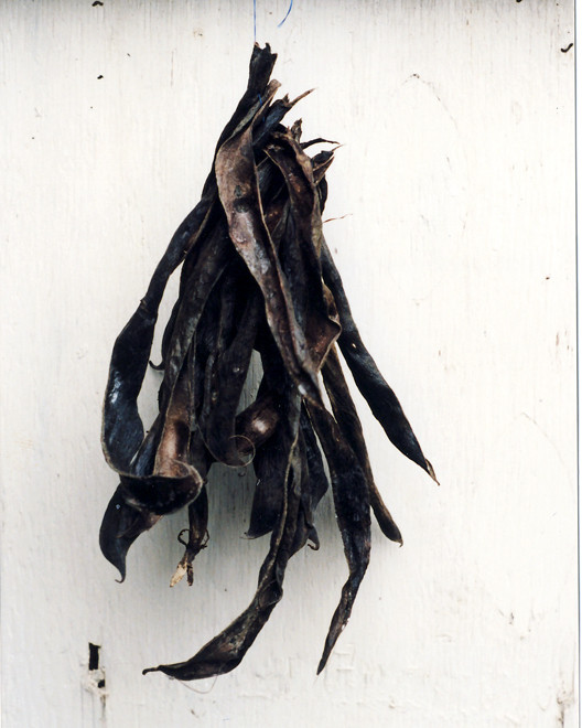 Husks prepared for The Drying Room (dried broad bean pods)